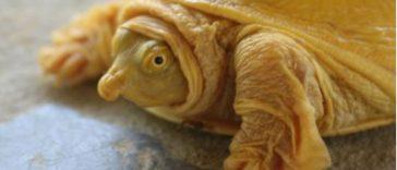 Nepal Celebrates First Ever Rare, Godlike Gold Turtle