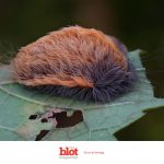 Hairy, Poisonous Puss Caterpillars That Will Make You Vomit Invade VA