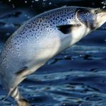 50,000 Farmed Salmon Escape Into the Wild, Zoologists Smell Something Bad