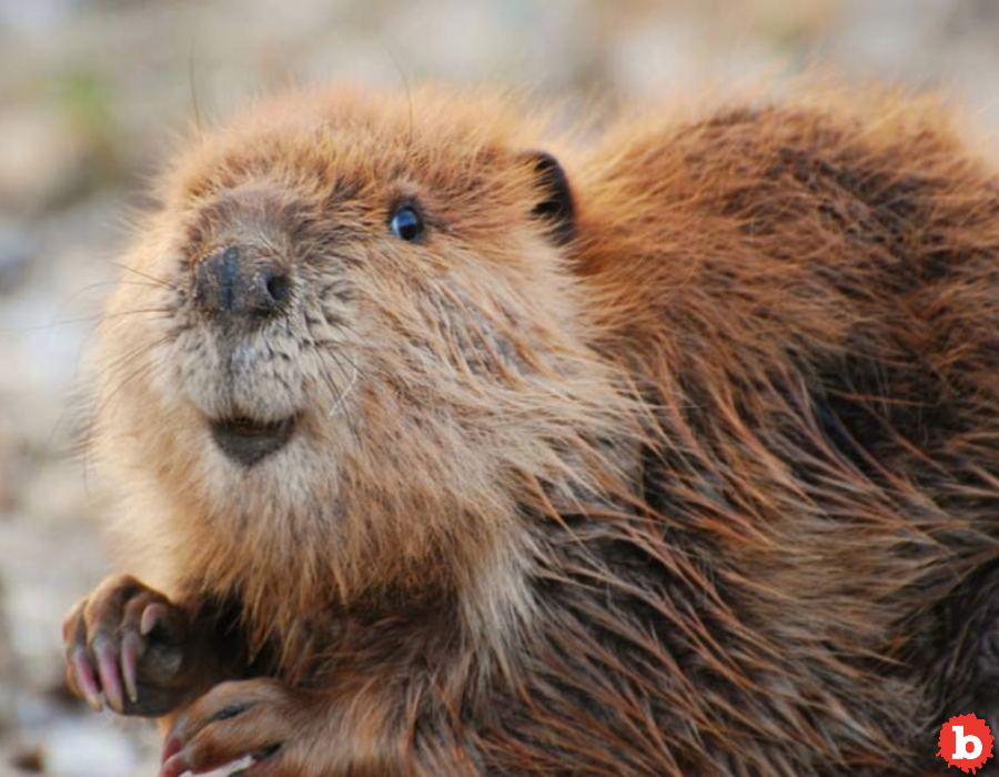 Beaver Anal Excretions Are All Over You, And In You