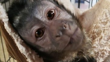 Kentucky Man Discovers Really Friendly Capuchin Monkey On Porch