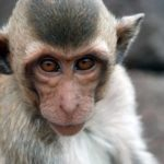 Cincinnati Cops, Animal Control Trying to Corral Loose Monkeys