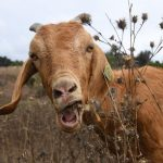 Firefighting Goats Help Keep Reagan Presidential Library Safe Every Year